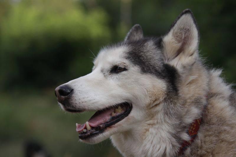 Chaman - Type Huskie - Adopté à la SPA en 2001, né en 1997/98