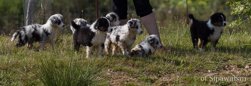 chiots berger australien of Sipawaban