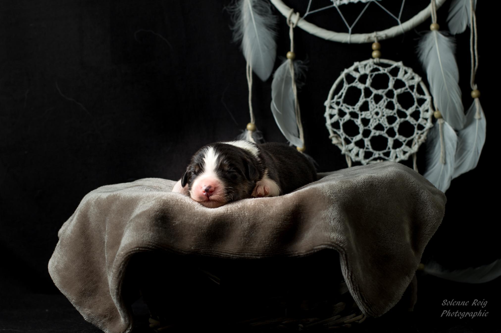 chiot berger australien noir tricolore